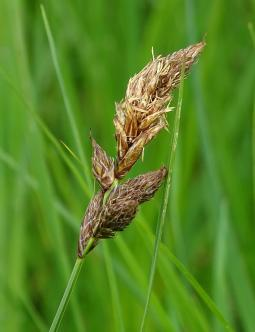 Carex disticha Huds., 1762