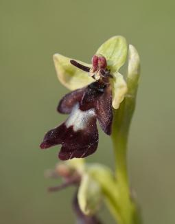 Ophrys insectifera L., 1753