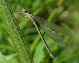Coenagrion mercuriale (Charpentier, 1840)