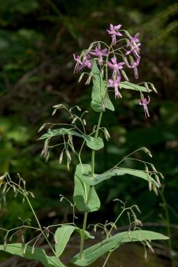 Prenanthes purpurea L., 1753
