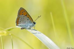 LYCAENA DISPAR (HAWORTH, 1802) MÂLE