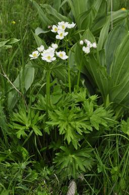 Anemone narcissiflora subsp. narcissiflora L., 1753