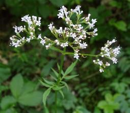 Valeriana officinalis L., 1753