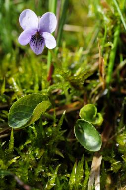 Viola palustris L., 1753