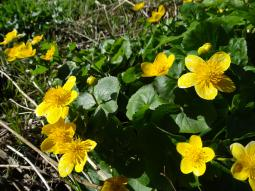 Caltha palustris L., 1753