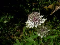 Astrantia major L., 1753