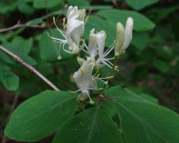 Lonicera xylosteum L., 1753