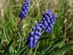 Muscari botryoides (L.) Mill., 1768