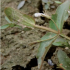 Fausse Gratiole (LINDERNIA DUBIA (L.) PENNELL)